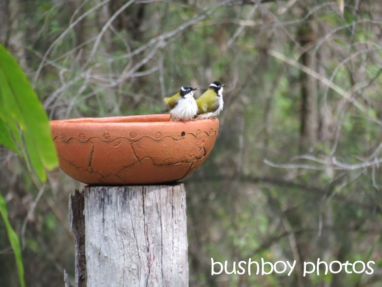 white throated honeyeaters02_birdbath_home_named_may 2016