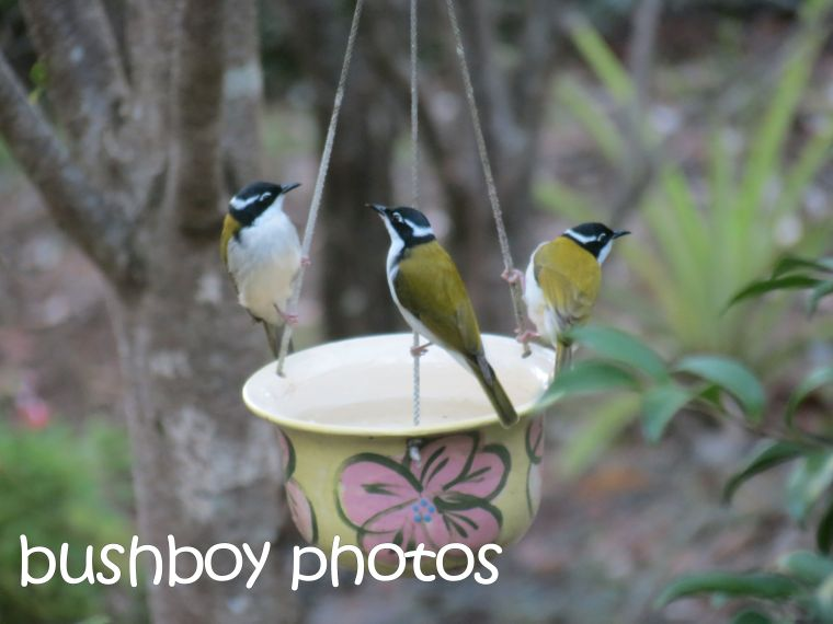 white throated honeyeaters_named_home_april 2016