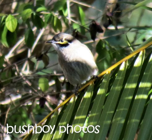 yellow faced honeyeater_home_named_crop_may 2016