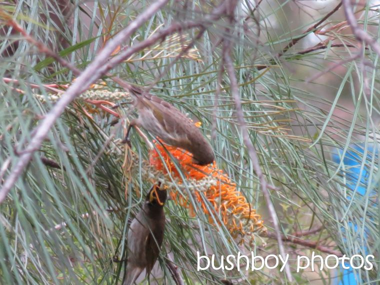 yellow faced honeyeaters_home_named_may 2016