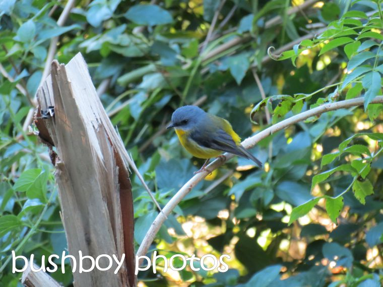 eastern yellow robin_binna burra_named_june 2016