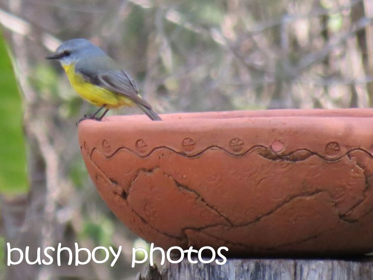 eastern yellow robin_home_named_june 2016