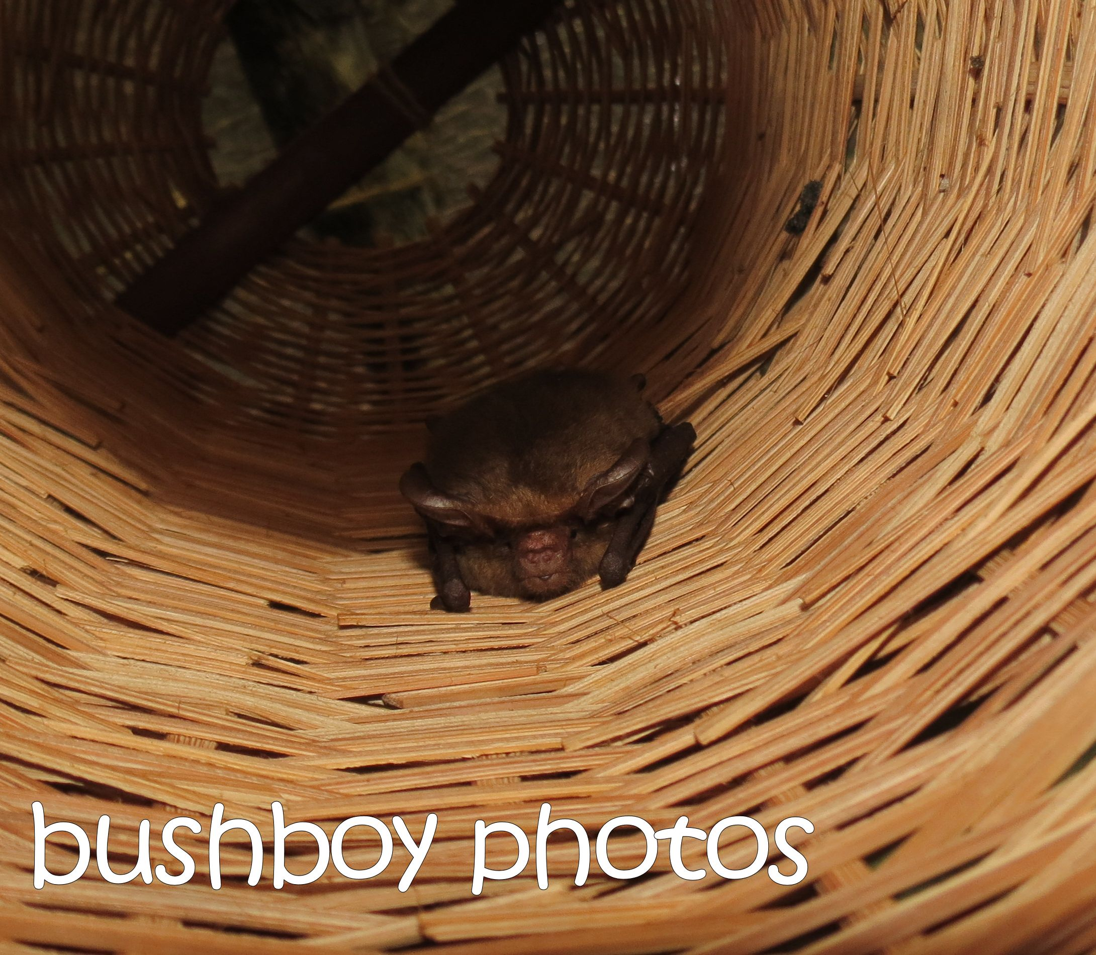lesser long eared bat_lady shed_binna burra_named_june 2016