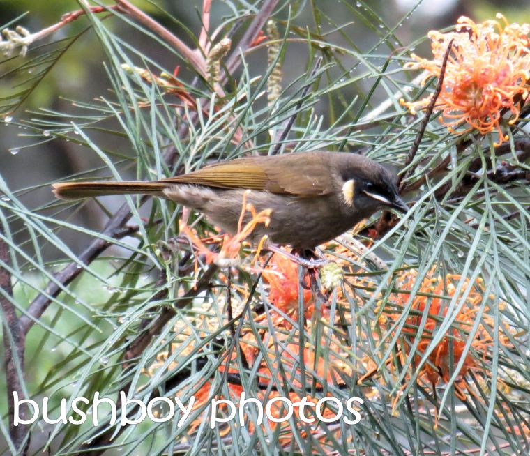 lewins honeyeater_home_named_june 2016