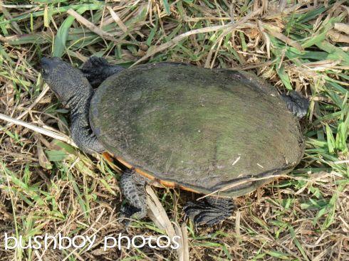 long-necked tortoise_casino_named_june 2016