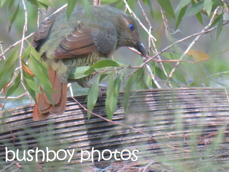 satin bowerbird_female_home_named_june 2016