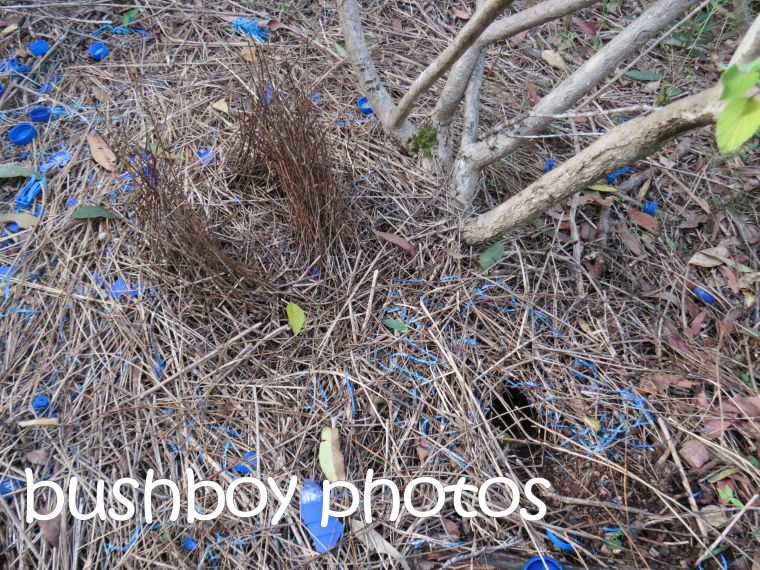 satrin bower birds bower_home_named_june 2016
