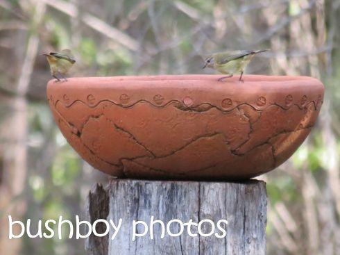 striated thornbills_home_named_june 2016