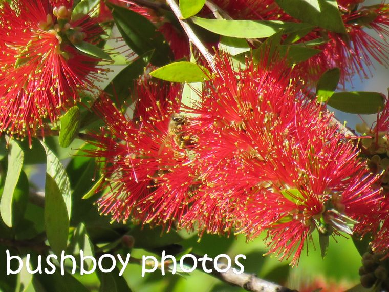 bee_bottlebrush_named_home_aug 2016