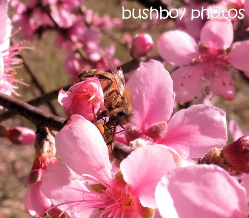 bee_nectarine blossoms_named_home_july 2016