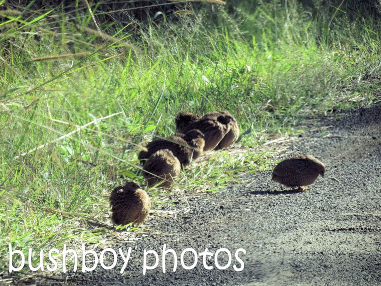 brown quail group_named_larnook_aug 2016