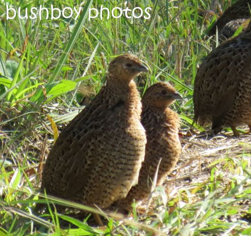 brown quail01_named_larnook_aug 2016
