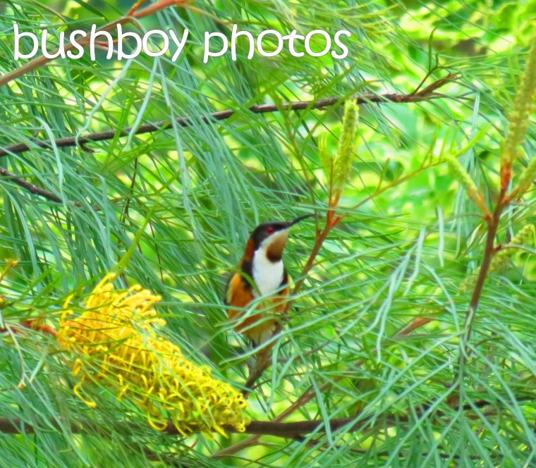 eastern spinebill_named_home_july 2016