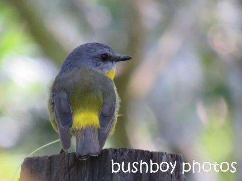 eastern yellow robin_named_binna burra_aug 2016
