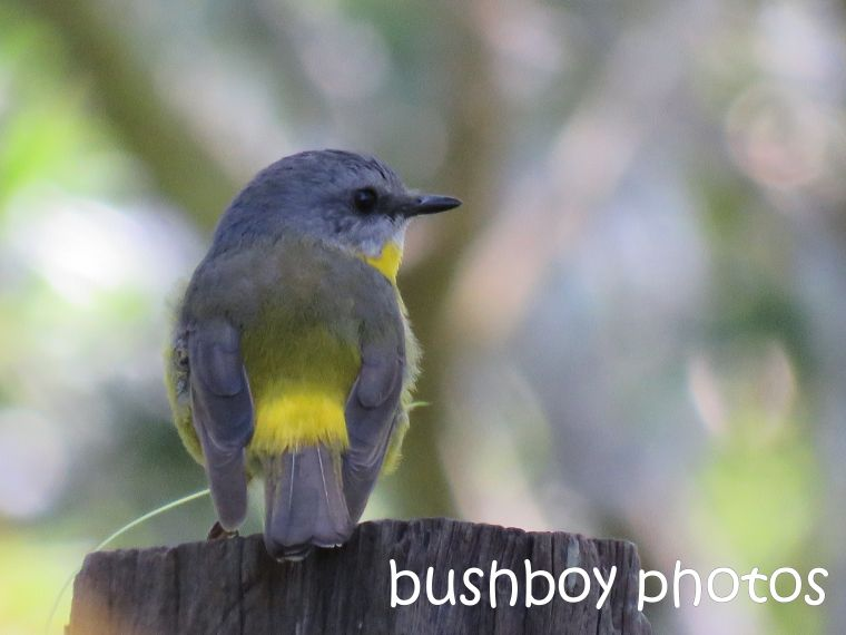 eastern yellow robin_named_binna burra_aug 2016