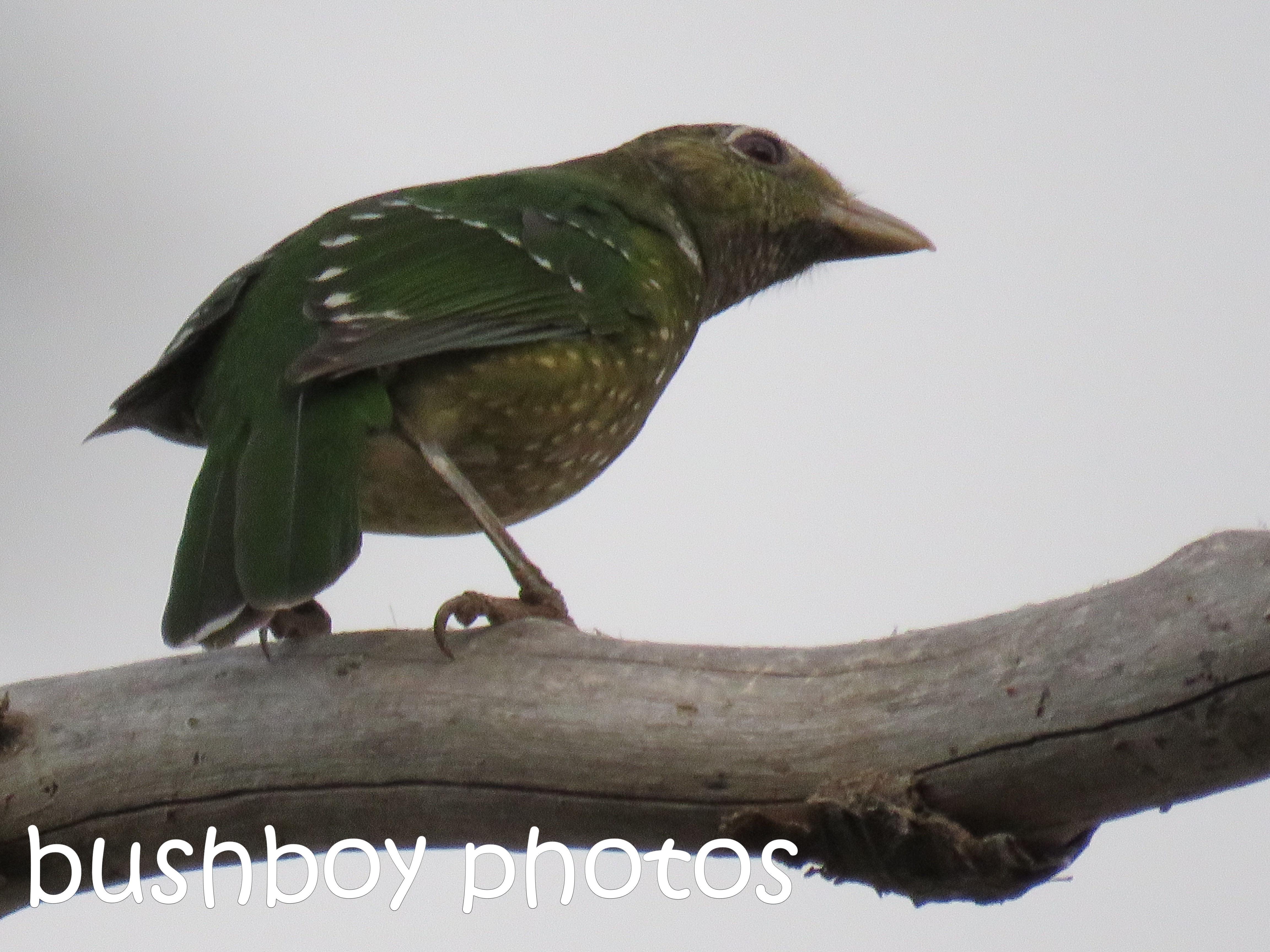 green catbird_named_binna burra_aug 2016
