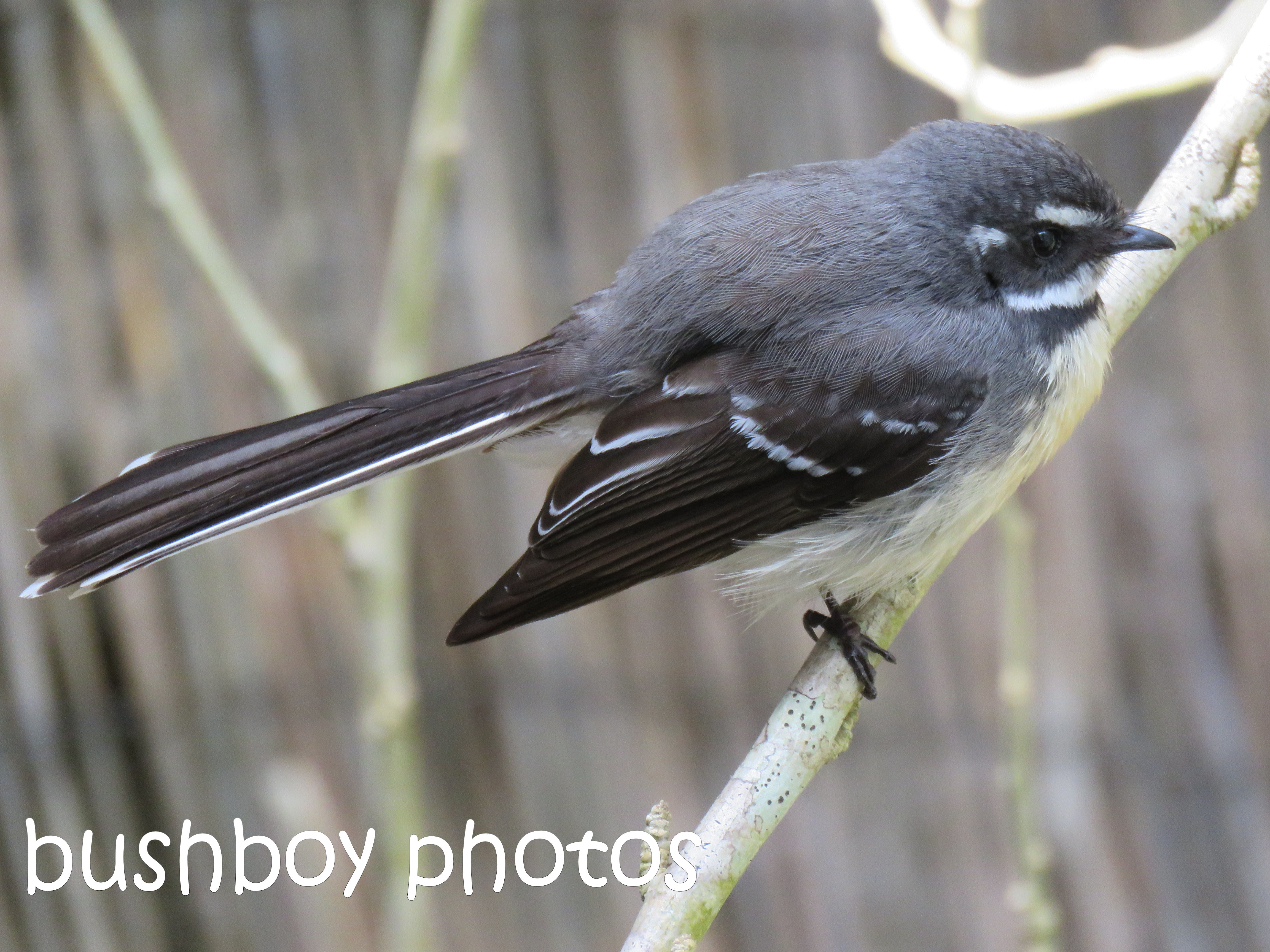 grey fantail_named_binna bura_aug 2016