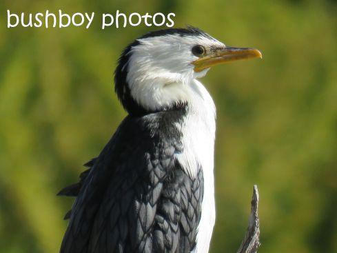 little pied cormorant_named_ballina_aug 2016