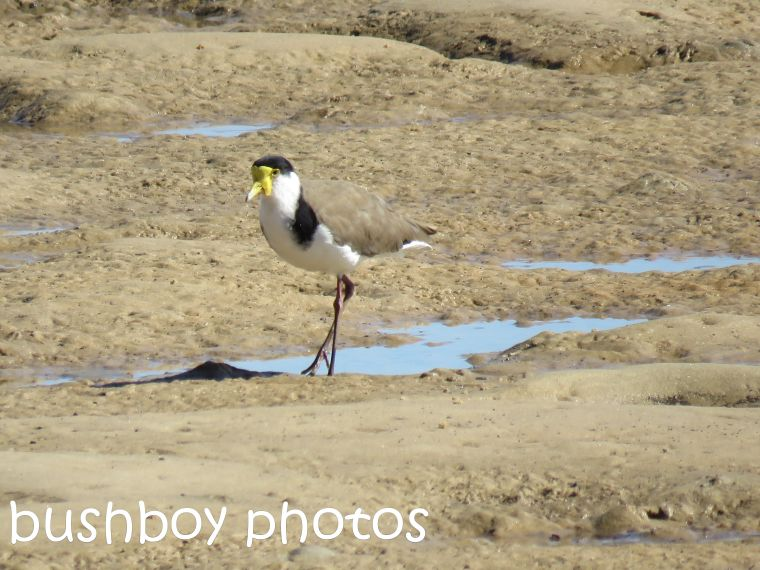 masked lapwing_named_ballina_aug 2016