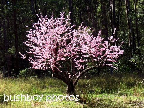 nectarine tree_named_home_july 2016