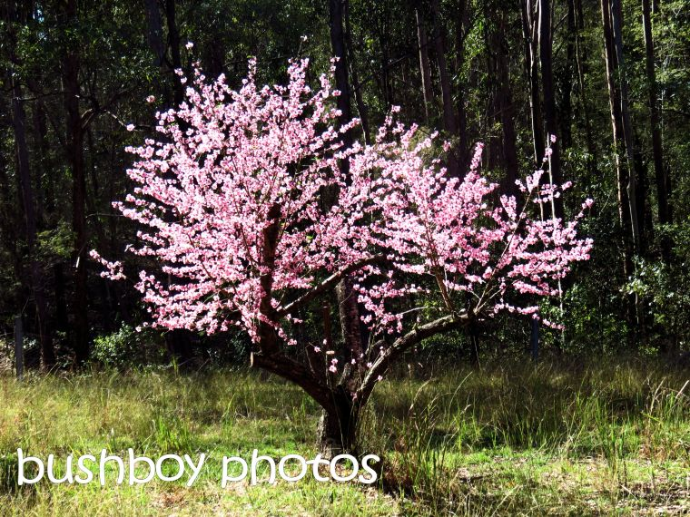 nectarine tree_named_home_july 2016