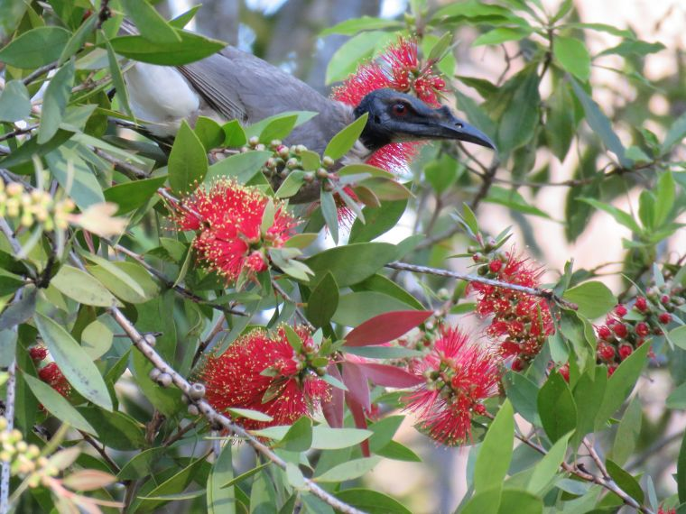 noisy friarbird_named_home_aug 2016
