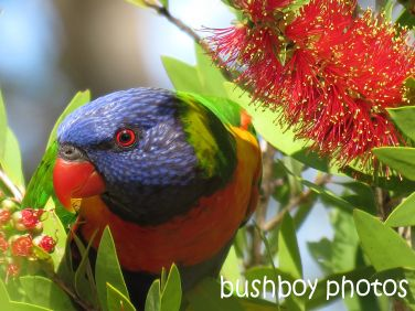 rainbow lorikeet01_named_home_aug 2016