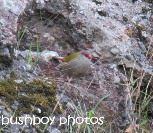 red browed finch_named_home_jul;y 2016