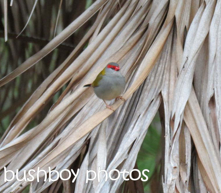 red browed finch_palm_named_home_jul;y 2016