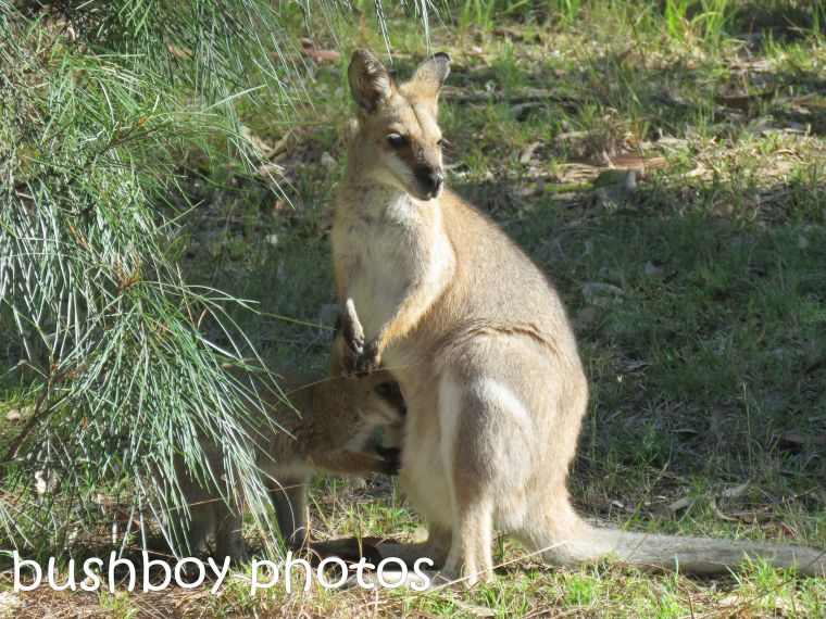 red necked wallaby and joey01_named_home_aug 2016