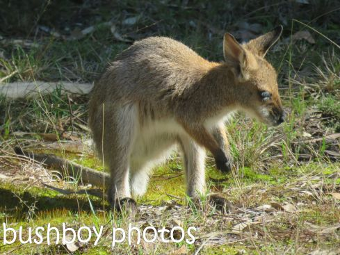 red necked wallaby_joey03_named_home_aug 2016