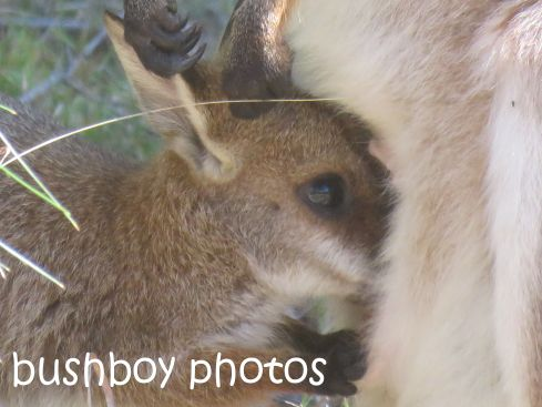 red necked wallaby_joey04_named_home_aug 2016
