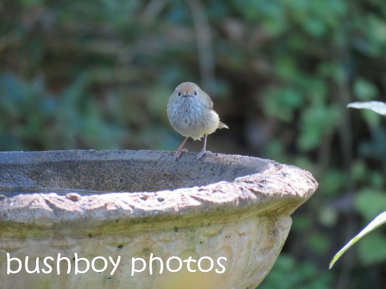 striated thornbill_named_binna burra_aug 2016