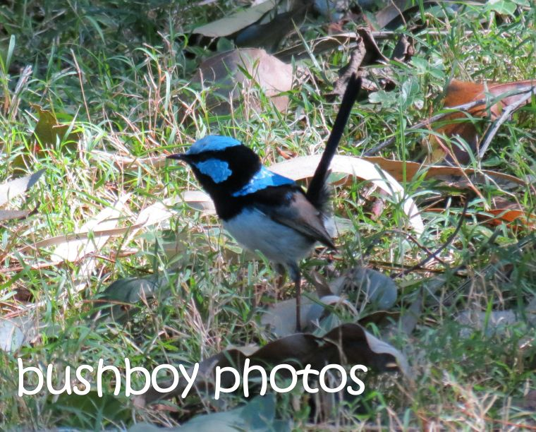 superb fairy wren_named_binna burra_july 2016