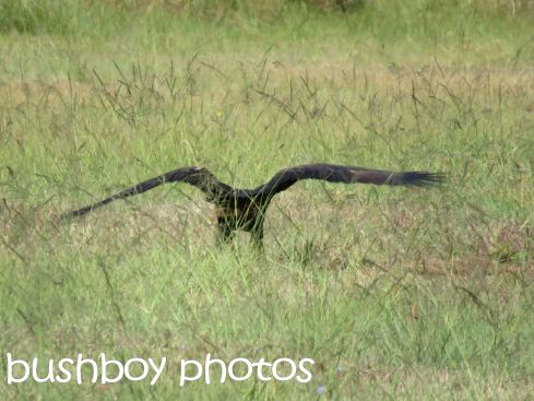 wedged tailed eagle07_named_ramornie_aug 2016