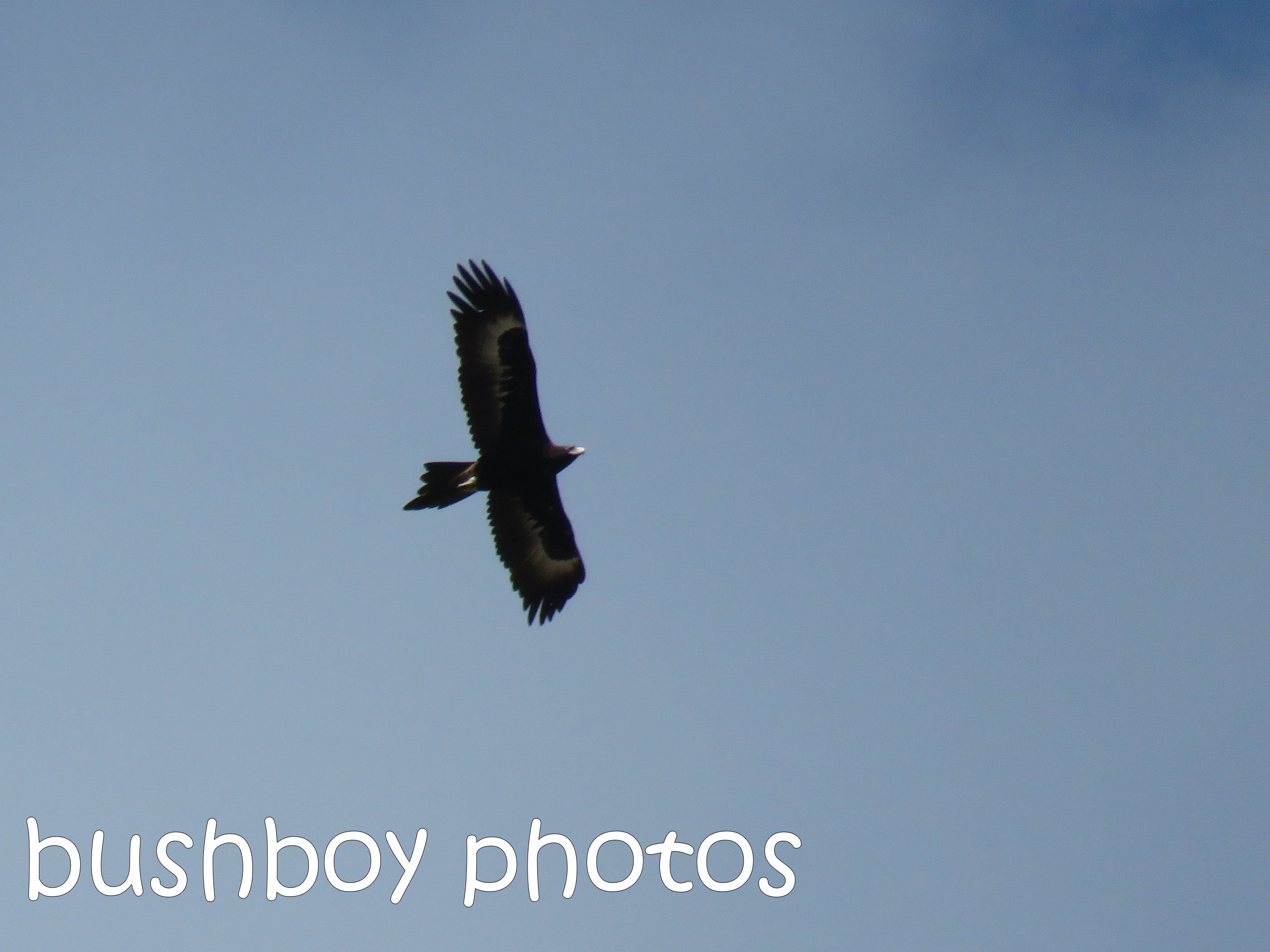 wedged tailed eagle_named_ramornie_aug 2016