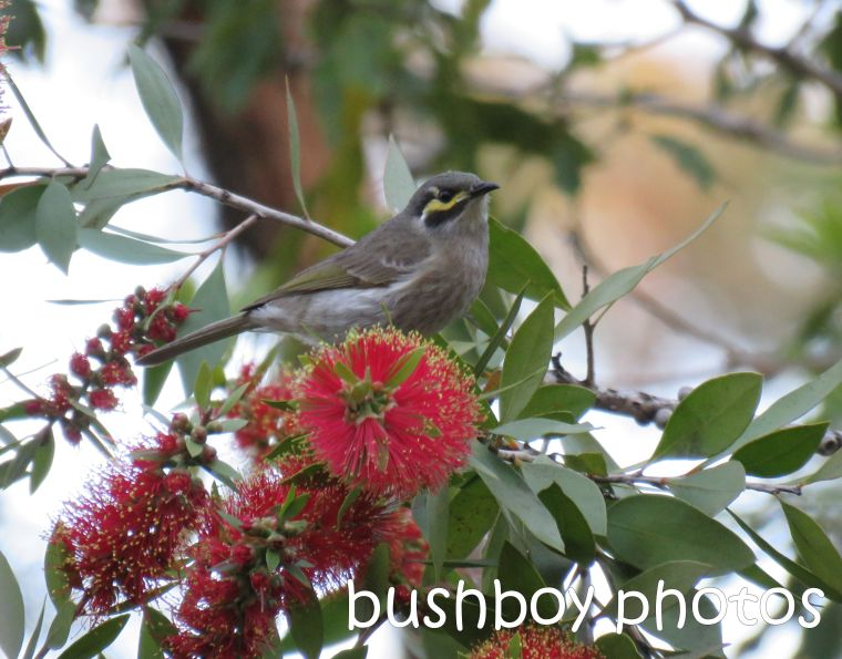yellow faced honeyeater_bottlebrush_named_home_aug 2016