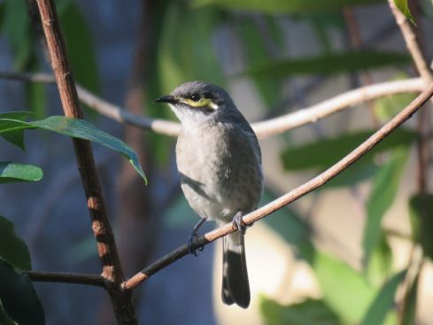 yellow faced honeyeater_named_home_aug 2016