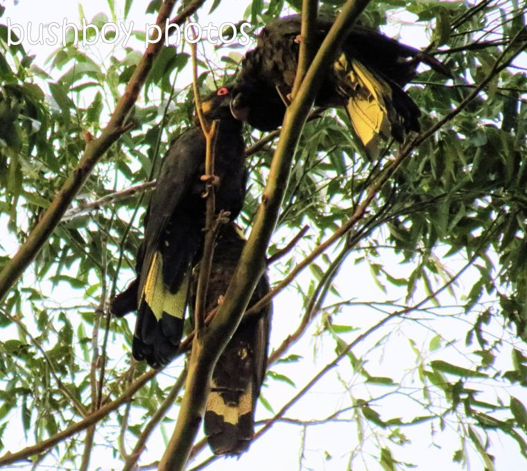 yellow tailed black cockatoos_named_binna burra_aug 2016