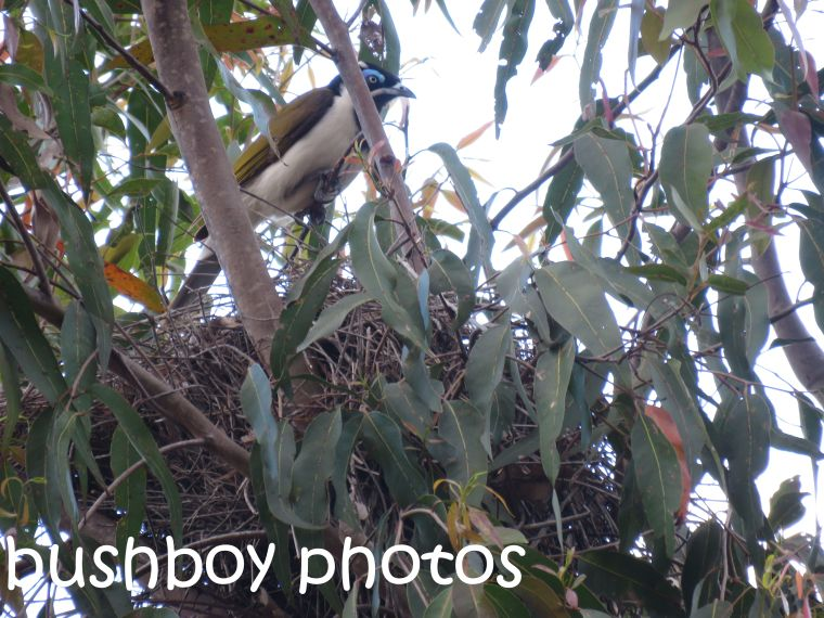 blue-faced-honeyeater_nest_named_home_sept-2016