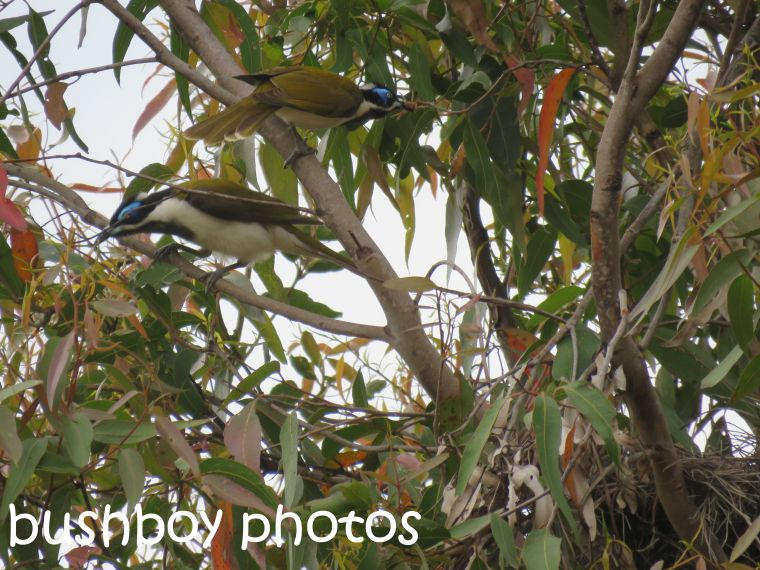 blue-faced-honeyeaters_nest_named_home_sept-2016