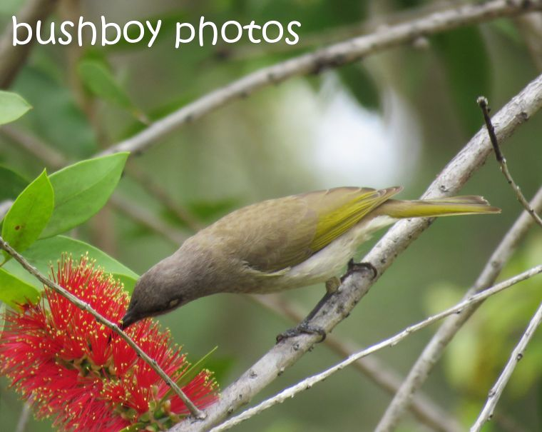 brown-honeyeater_named_home_aug-2016