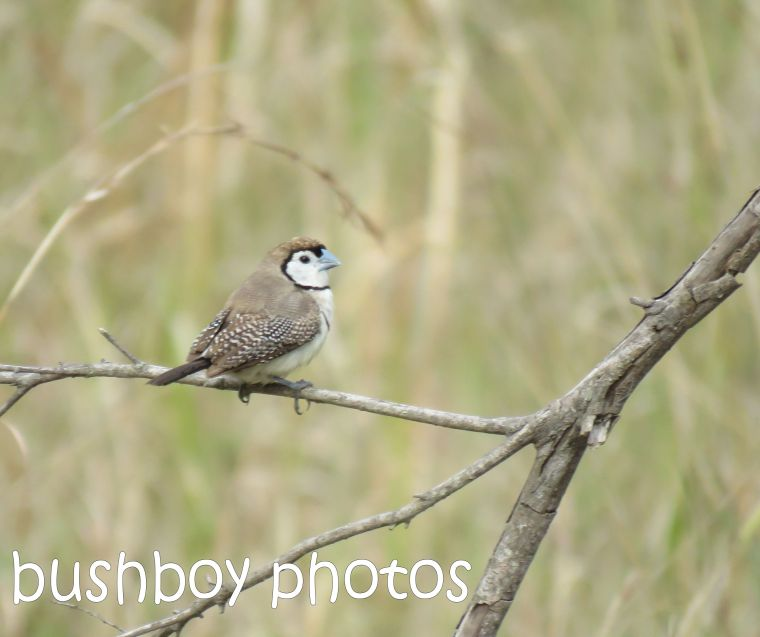 double-barred-finch_named_home_aug-2016-2