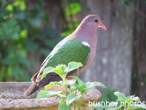 emerald-dove_named_binna-burra_sept-2016