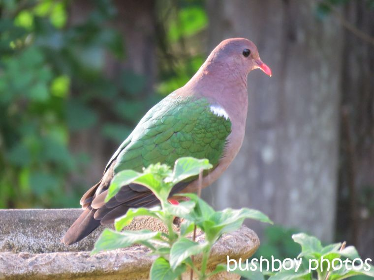emerald-dove_named_binna-burra_sept-2016
