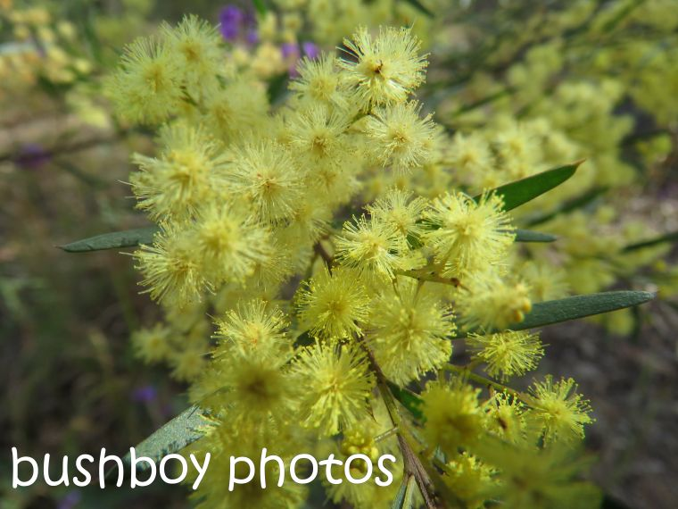 fringe-wattle_named_home_aug-2016