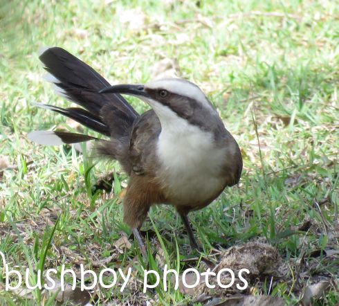 grey-crowned-babbler_named_home_aug-2016