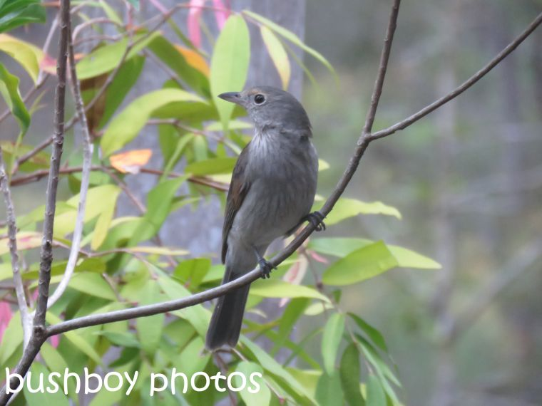 grey-shrike-thrush_named_home_sept-2016