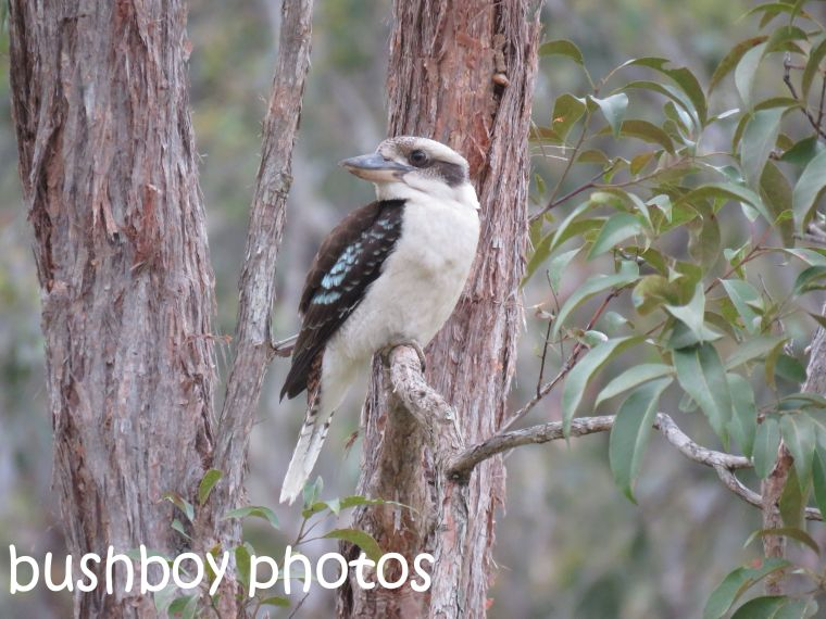 kookaburra_named_home_sept-2016