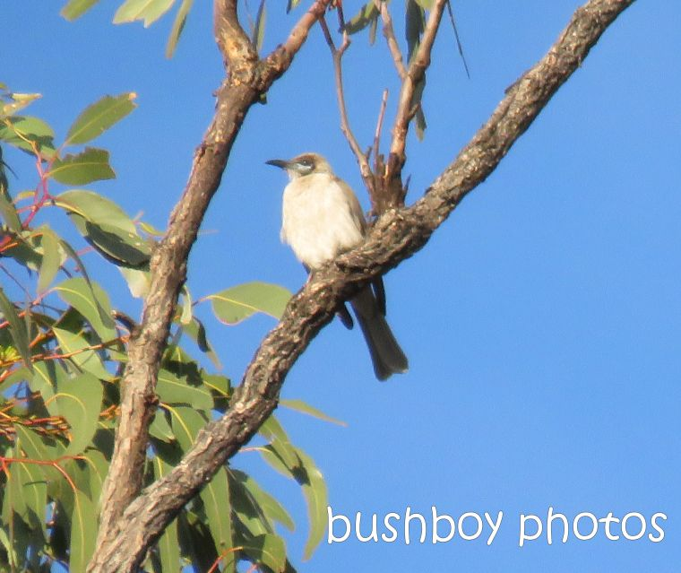 little-friarbird_named_home_aug-2016